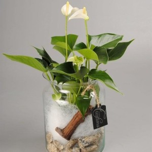 Arrangements Anthurium 'ANCR-1716'