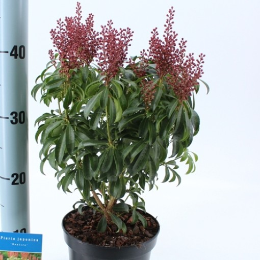 Pieris japonica 'Bonfire' (About Plants Zundert BV)