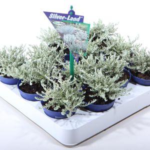 Helichrysum italicum MIX