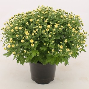 Chrysanthemum 'Jasoda White'