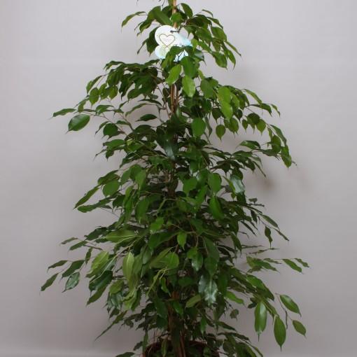 Ficus benjamina 'Danita' (Peeters Potplanten)