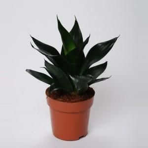 Sansevieria trifasciata 'Black Dragon'