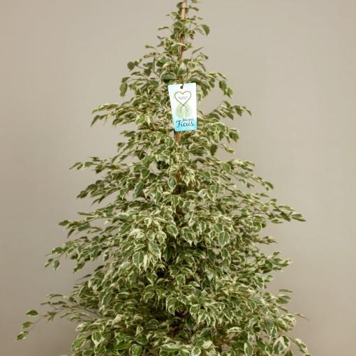 Ficus benjamina 'Profit' (Kwekerij de Schenkel)