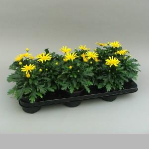 Euryops chrysanthemoides 'Sonnenschein' (Gebr. Grootscholten)
