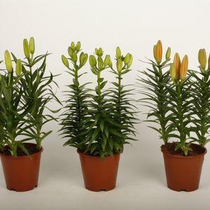 Lilium TINY MIX (Wetering Potlilium)