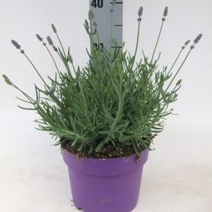 Lavandula angustifolia 'Hidcote' (Kwekerij Scholte)