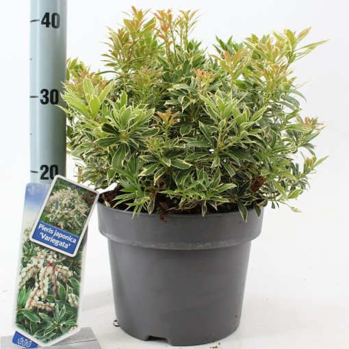 Pieris japonica 'Variegata' (About Plants Zundert BV)