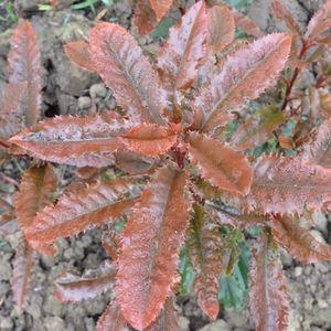 Photinia serratifolia CRUNCHY (About Plants Zundert BV)