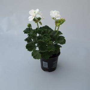 Pelargonium TOSCANA CATO