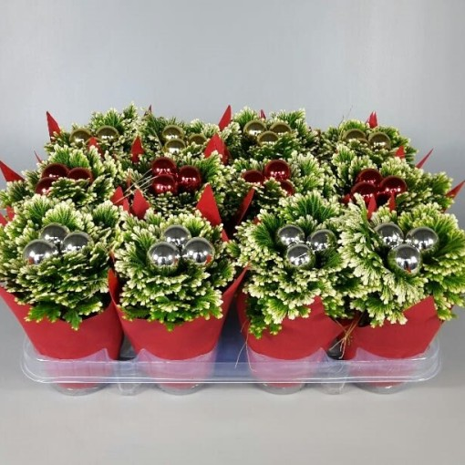 Selaginella martensii 'Jori' (Croon, Kwekerij de)