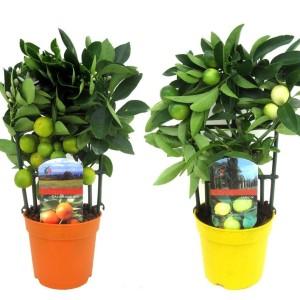 Citrus MIX (Luiten kwekerij)