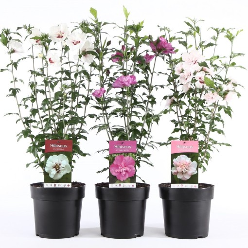 Hibiscus syriacus MIX (Boomkwekerij Ronald Roos B.V.)