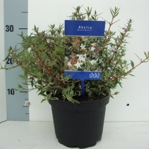 Abelia MIX (About Plants Zundert BV)