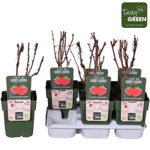 Rubus idaeus 'Heritage' (Hoogeveen Plants)