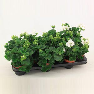 Pelargonium 'Isabella'