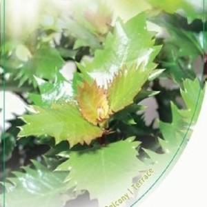 Ilex x meserveae 'Little Sensation' (Dool Botanic)