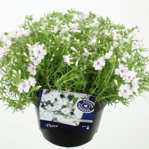 Phlox 'Amazing Grace'