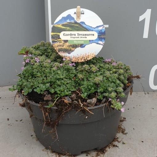 Thymus praecox 'Minor' (Leeuw-den Engelsen)