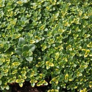 Thymus pulegioides 'Foxley' (Leeuw-den Engelsen)