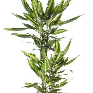 Dracaena fragrans CINTHO (Ammerlaan )