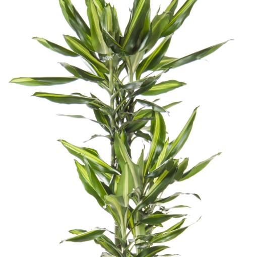 Dracaena fragrans CINTHO (Ammerlaan, The Green Innovater)