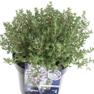 Thymus vulgaris 'Compactus' (Kwekerij de Noordpoel)