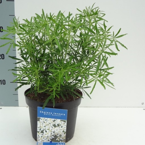 Choisya ternata WHITE DAZZLER (About Plants Zundert BV)
