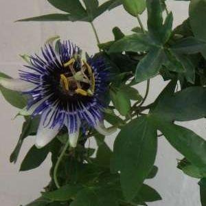 Passiflora 'Silly Cow' (Plantcare BVBA)