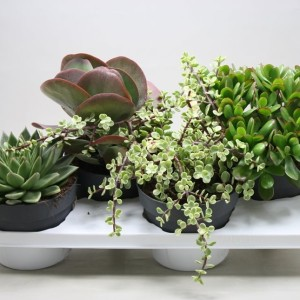 Succulents MIX