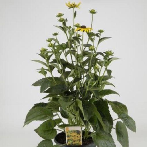 Rudbeckia fulgida 'Little Goldstar' (Experts in Green)
