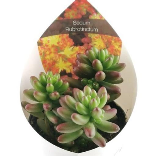 Sedum x rubrotinctum (Giromagi)