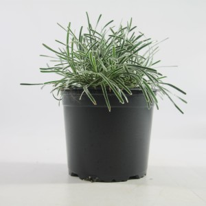 Ficinia truncata 'Ice Crystal' (Special Plant Zundert)