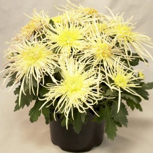 Chrysanthemum 'Yellow Spider' (Hofstede Hovaria)