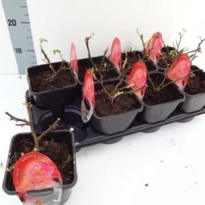 Rosa CHAPEAU (About Plants Zundert BV)