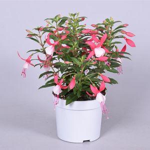 Fuchsia BELLA FUCHSIA EVITA