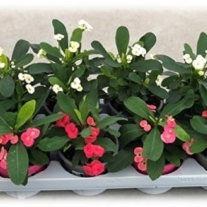 Euphorbia MILII MIX