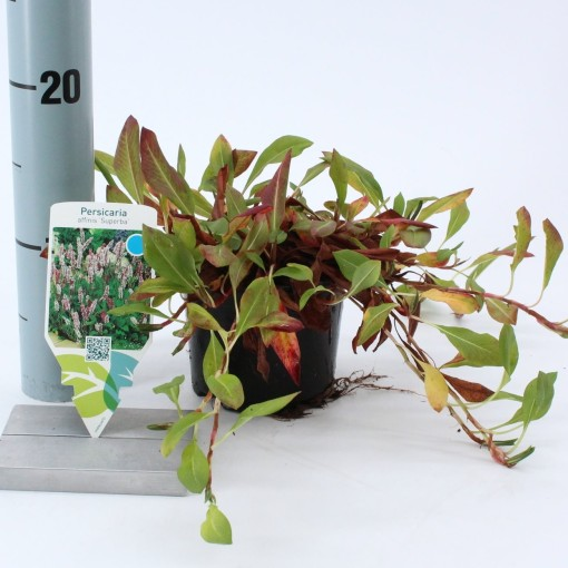 Persicaria affinis 'Superba' (About Plants Zundert BV)