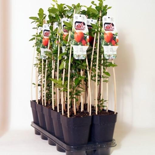 Punica granatum 'Dente di Cavallo' (BOGREEN Outdoor Plants)
