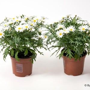 Argyranthemum frutescens 'Dana' (Gasa DK)