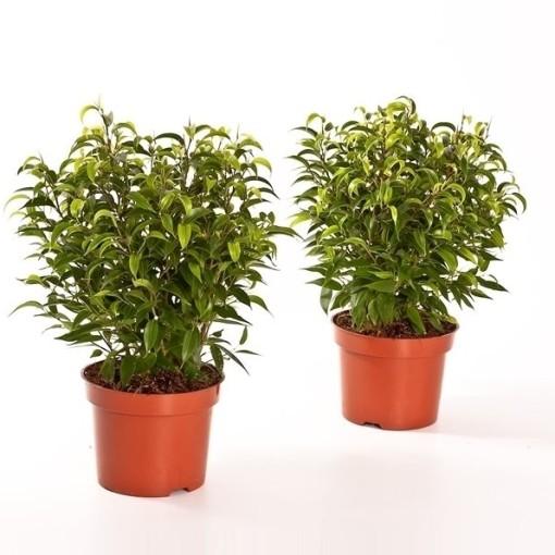 Ficus benjamina 'Natasja' (Bunnik Plants)