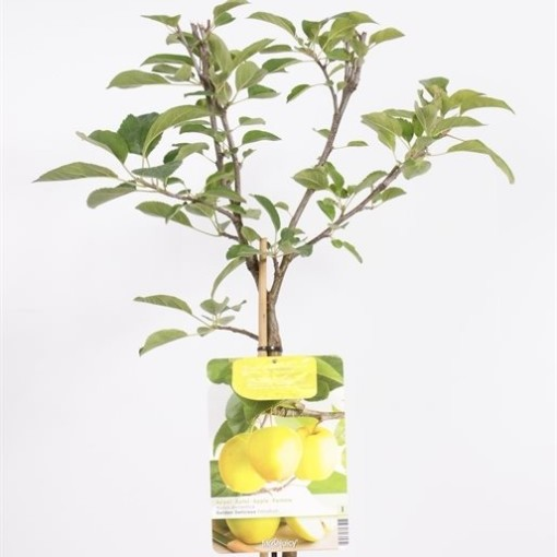 Malus domestica 'Golden Delicious' (Fruithof)