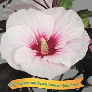 Hibiscus MIX (Gebr. Griffioen)