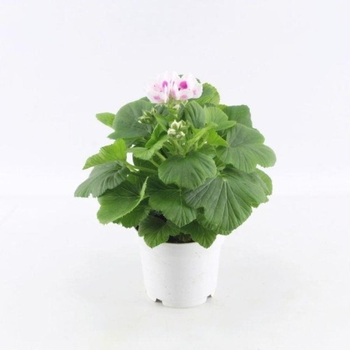 Pelargonium 'Royalty White' (Adrichem Potplanten)