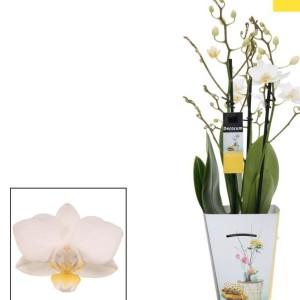 Phalaenopsis SOGO POPCORN