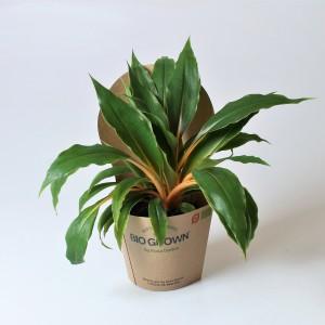 Chlorophytum orchidastrum 'Princess Mabel'