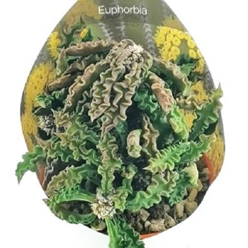 Euphorbia decaryi (Giromagi)