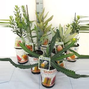 Banksia MIX (Flora Toscana)