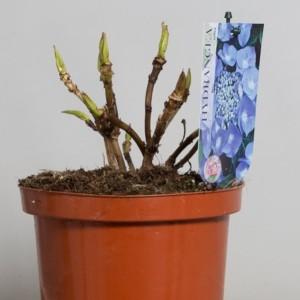 Hydrangea macrophylla TELLER MIX (De Jong Plant BV)