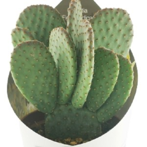 Opuntia microdasys 'Indigo'