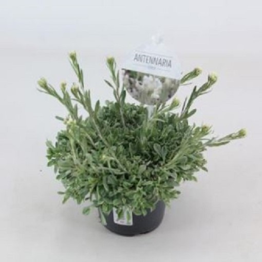 Antennaria dioica (Experts in Green)